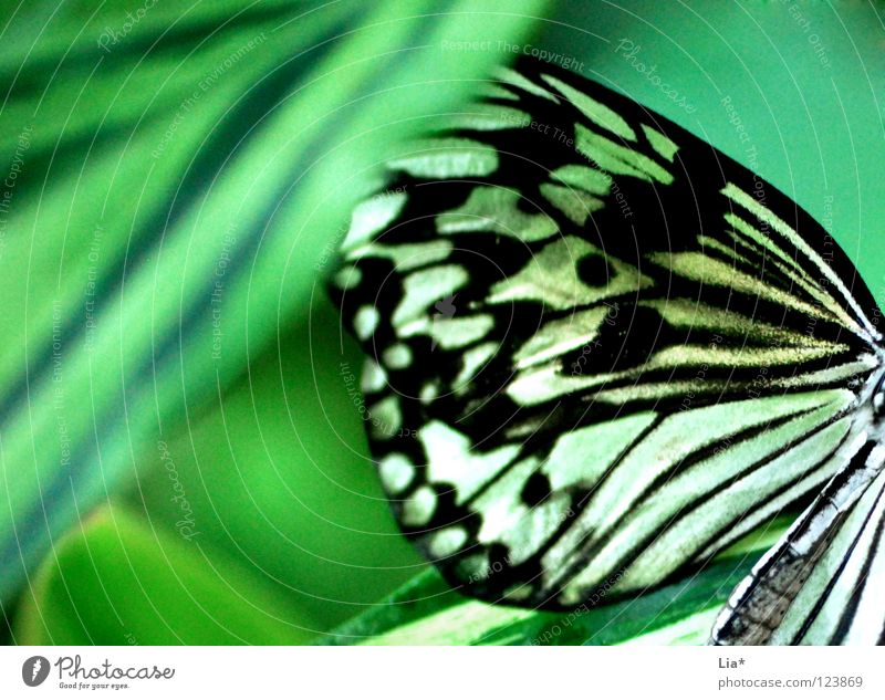 Nature White Green Beautiful Leaf Black Yellow Sit Stripe Wing Soft Point Insect Butterfly Hide Easy