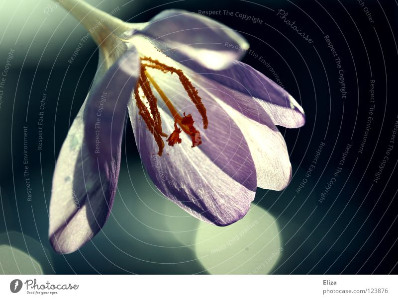 Nature Flower Warmth Lighting Spring Blossom Beautiful weather Violet Near Physics Point of light Crocus Interesting