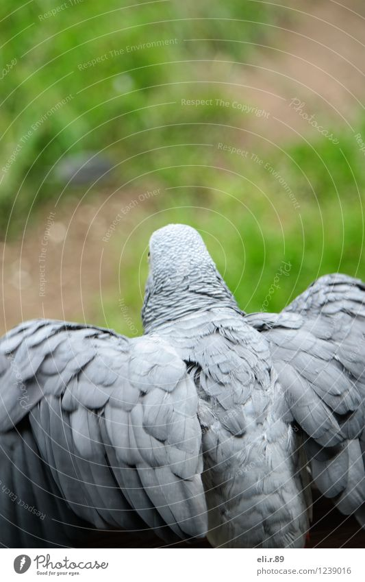departure Freedom Animal Pet Wild animal Bird Wing Grey Parrotlet Flying Gray Green Anticipation Beginning Colour photo Exterior shot Copy Space top Day
