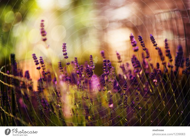 sparkle sparkle Elegant Style Nature Plant Summer Beautiful weather Flower Blossom Wild plant Pot plant Lavender Flower stem Garden Wire netting fence Blur