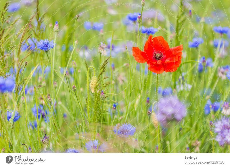 Single seeks... Environment Nature Landscape Plant Animal Sun Sunlight Summer Flower Grass Meadow Field Faded Growth Poppy Poppy blossom Poppy field