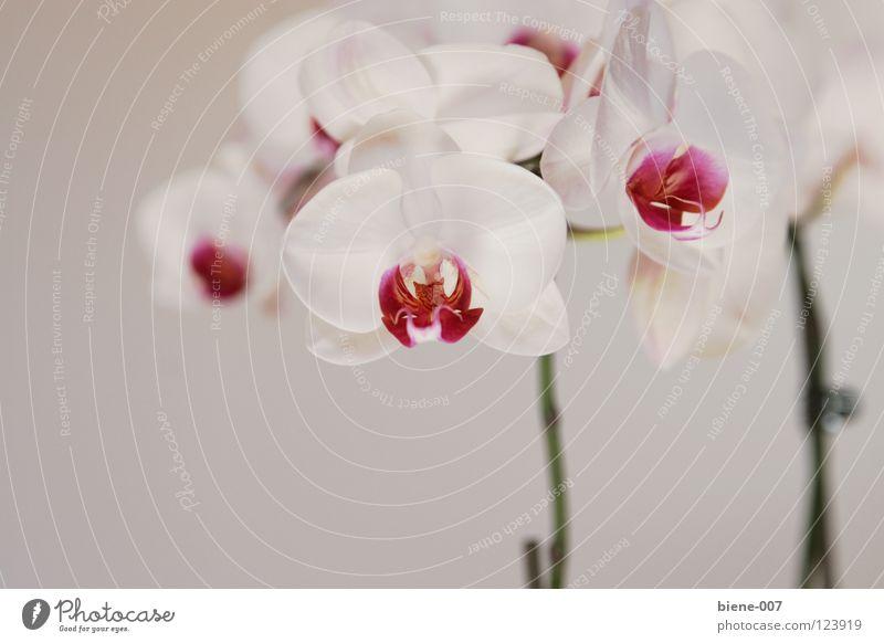 orchids Orchid Flower splendour of orchids floral splendour phalaenopsis phalaenopsis language