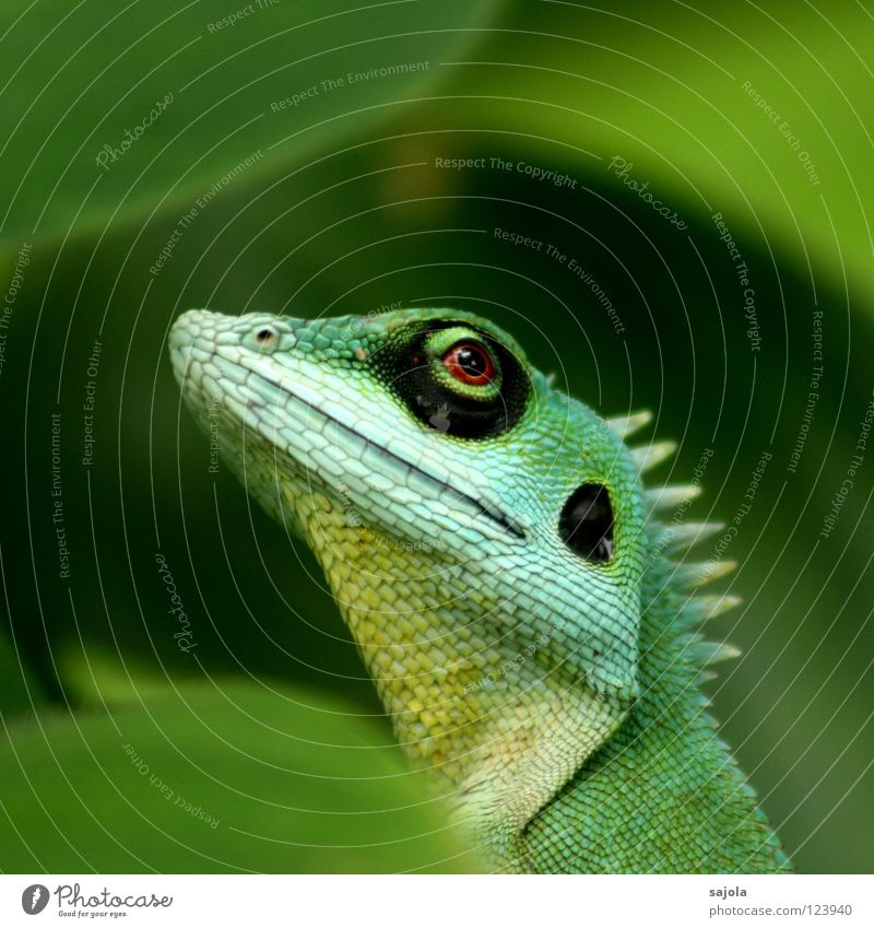 agame III Animal Virgin forest Long Green Watchfulness Agamidae Lizards Reptiles Asia Circle Botanical gardens Looking Eyes Perspective