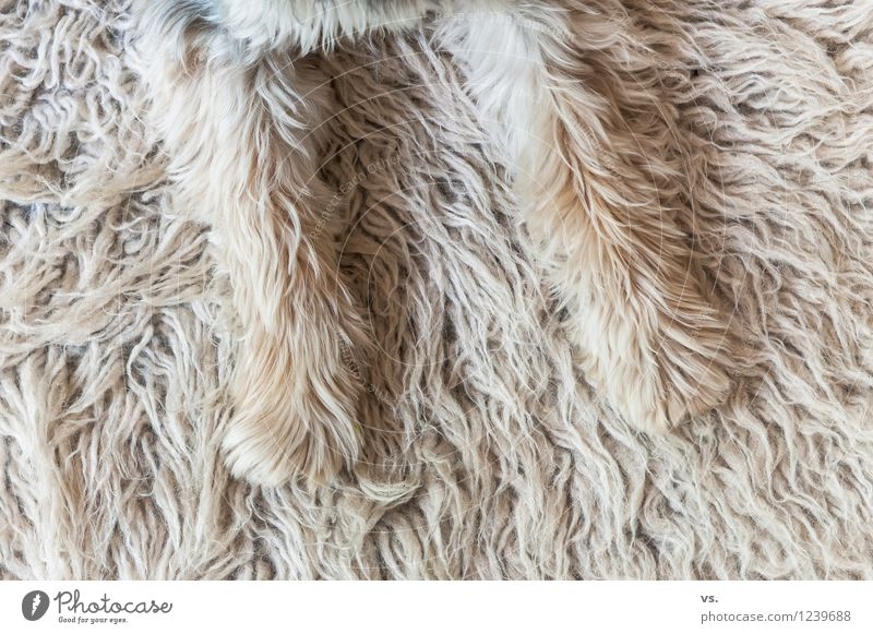 Dog Animal Funny Lie Living or residing To enjoy Protection Safety Pelt Watchfulness Pet Safety (feeling of) Paw Smart Carpet Rebellious