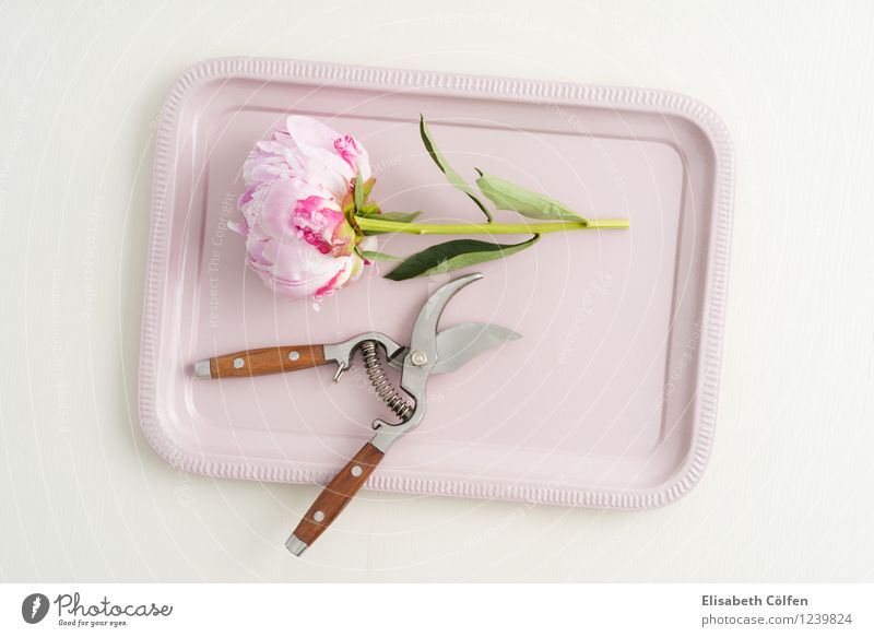 Freshly cut blossomed peony Peony Peonies flower arrangement blossoms Tray Decoration in full bloom pruning shears Claw flowers florist scissors Spring Pink