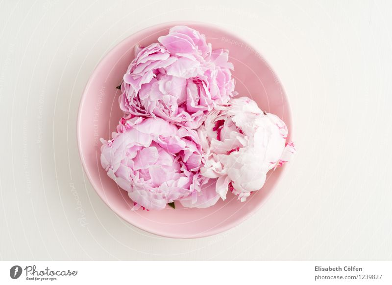 Three peonies Bowl Decoration Flower Blossom Peony Pink in full bloom Pastel tone shell flower arrangement Wellness Colour photo Studio shot Copy Space left