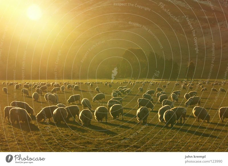 evening sheep Sheep Sunset New Zealand Sogn og Fjordane Grass Meadow Light To feed Dinner Meal Mammal Lamb Evening Pasture Nature Light (Natural Phenomenon)