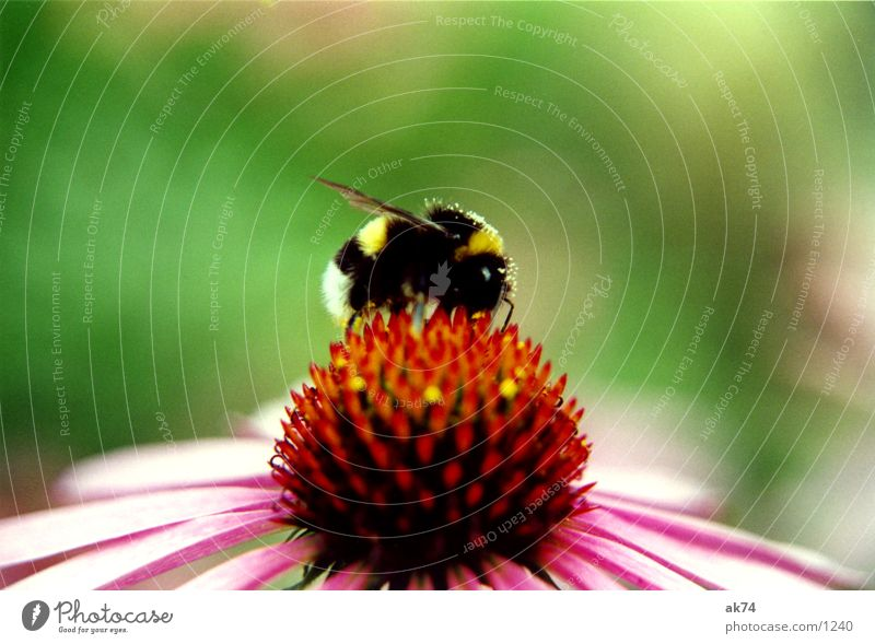 Flower Summer Blossom Pink Insect Blossoming Collection Bumble bee Purple cone flower