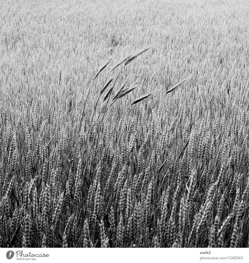 squall Agriculture Environment Nature Landscape Plant Agricultural crop Grain field Wheat Wheatfield Wheat ear Blade of grass Field Movement Stand Growth Thin