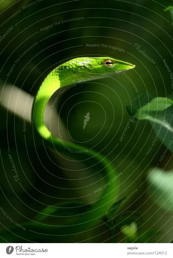 Green Tree Animal Asia Curve Poison Snake Reptiles Singapore Slit Keyhole Retreat Viper Botanical gardens