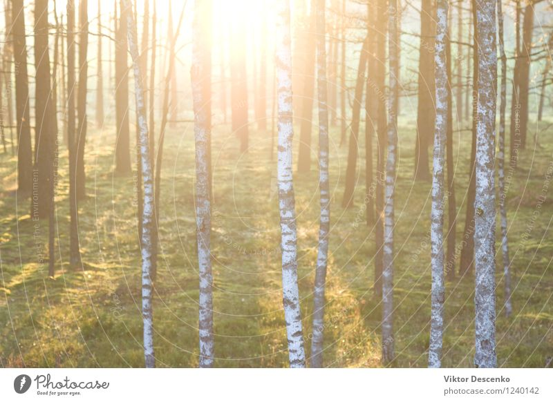 Forest on the background of the sun's rays in the spring Nature Plant Green Beautiful Summer Sun Tree Flower Landscape Leaf Forest Environment Autumn Natural Park Fresh