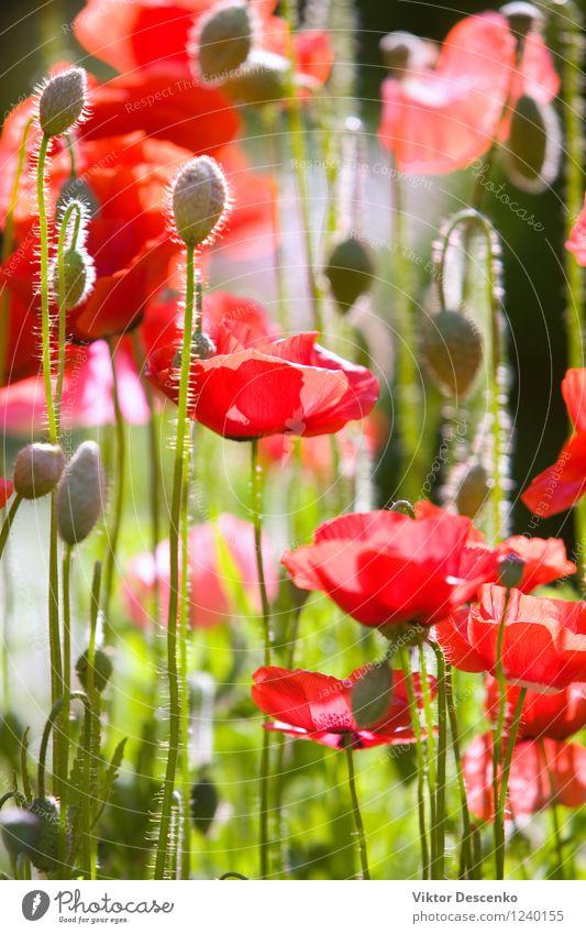 Red poppies in the summer garden Nature Plant Green Colour Summer Sun Flower Landscape Meadow Grass Garden Art Design Wild Decoration