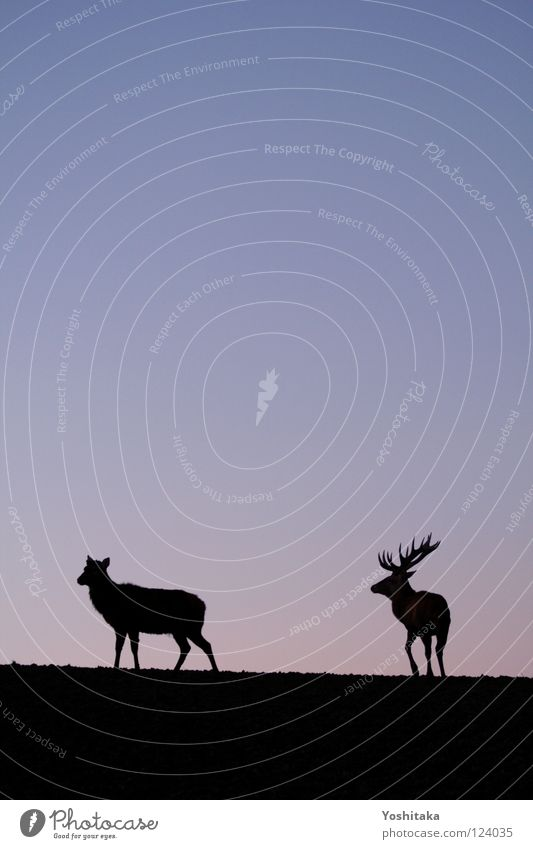 Lonely togetherness Roe deer Antlers Animal 2 Loneliness Calm Infinity Horizon Twilight Longing Together Mammal Transience Love Peace Contrast Evening Sky