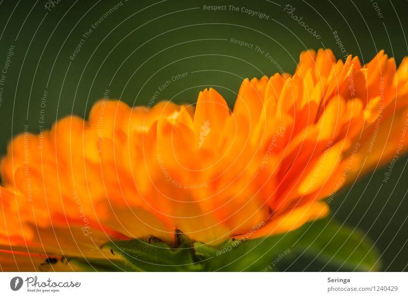 Parasol ( Calendula 2 ) Nature Plant Summer Flower Blossom Garden Observe Blossoming Fragrance Marigold Colour photo Exterior shot Close-up Detail