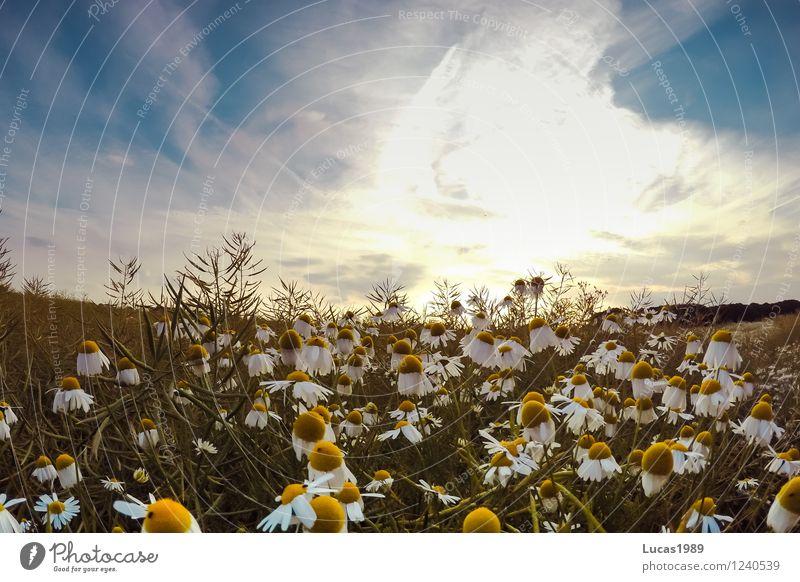 #200 Flower field Environment Nature Landscape Plant Earth Sky Clouds Horizon Sun Sunrise Sunset Summer Beautiful weather Grass Bushes Marguerite Canola