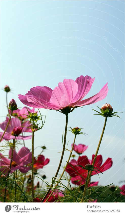Sky Flower Green Summer Blossom Pink Delicate Smooth Cosmos