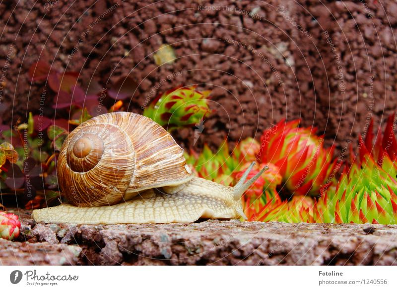 at snail's pace Environment Nature Plant Animal Summer Garden Snail 1 Free Natural Brown Vineyard snail Large garden snail shell Crawl Rock garden