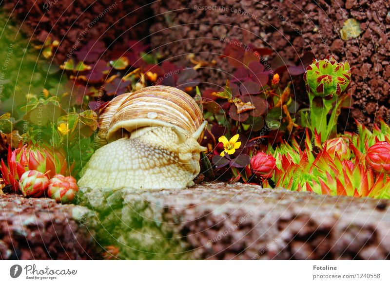 Hey, snail! Environment Nature Plant Animal Garden Snail 1 Small Natural Slimy Brown Green Vineyard snail Large garden snail shell Crawl Rock garden