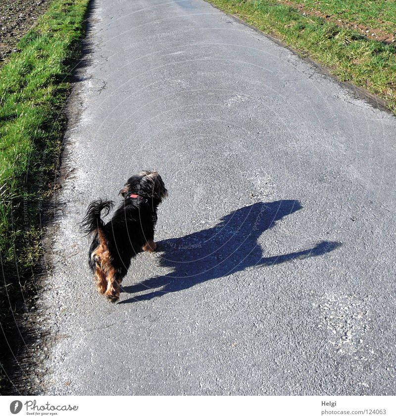 Rear view of a small black dog with a big shadow on a street Dog Crossbreed Dachshund Yorkshire terrier Terrier Small Long-haired Pelt Snout Dog's snout Tails