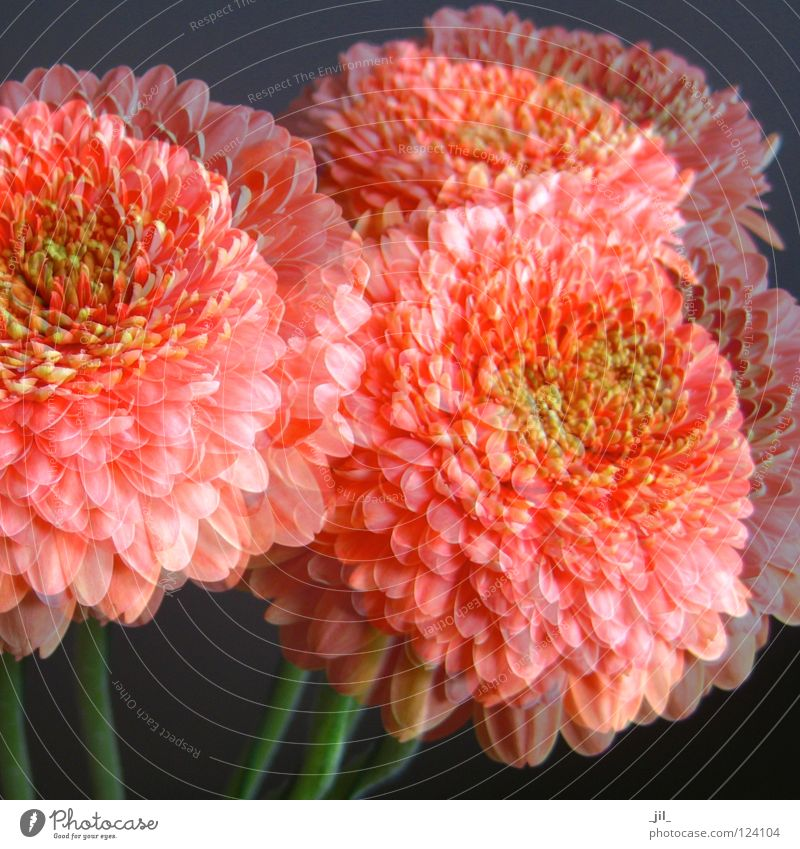 dreaming Gerbera Flower Plant Daisy Family Blossom Life Superimposed Ease Dark Force Delicate Dream Romance Coral Gray Green Double exposure Beautiful Colour
