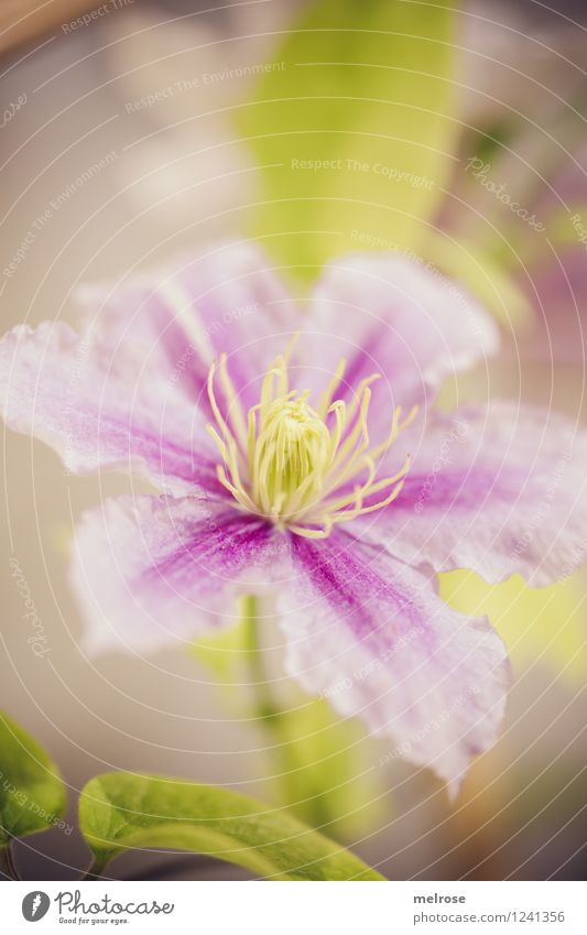 pink-purple-green Elegant Style Nature Plant Summer Beautiful weather Flower Leaf Blossom Pot plant Clematis Pistil petals Park Blossoming Relaxation Smiling