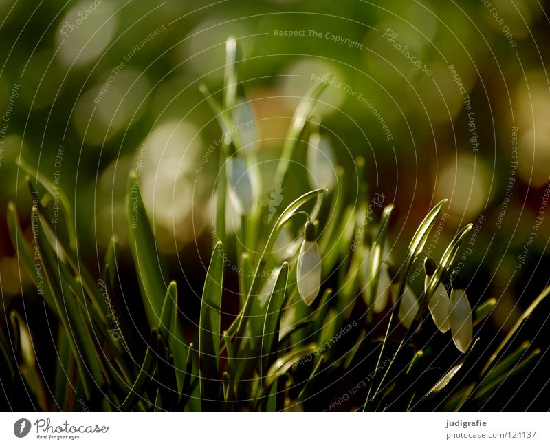Nature Green Plant Flower Colour Environment Meadow Spring Blossom Soft Delicate Fine Snowdrop Spring flowering plant