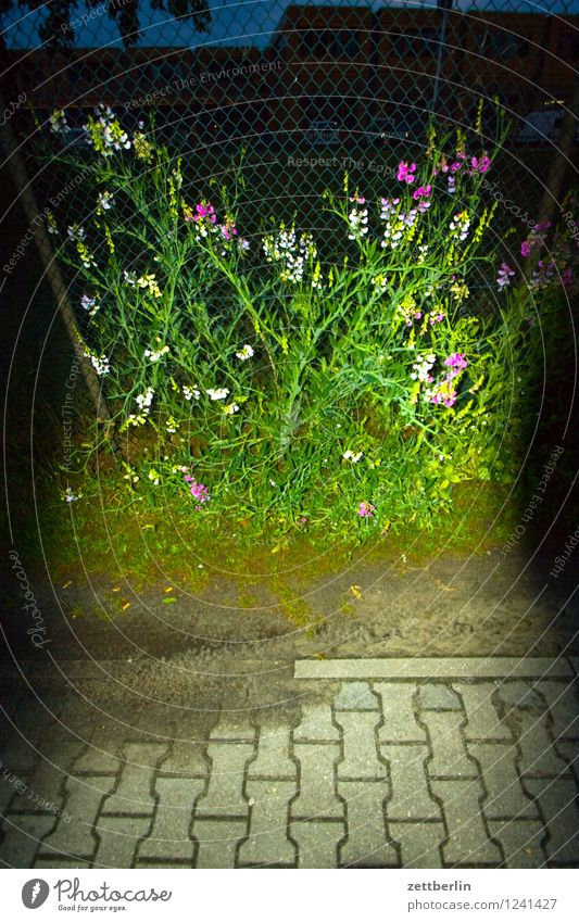Flashed vetch Flower Sweet pea vicia Fabaceae Legume Fence Tendril Blossom Garden Nature Garden plot Summer Town City life Evening Night Dark Threat Dangerous