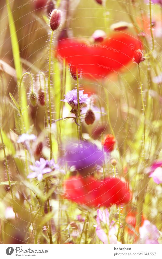 mo(h)ntag is out of focus Nature Plant Spring Summer Beautiful weather Flower Grass Leaf Blossom Wild plant Poppy Garden Park Meadow Blossoming Fragrance Faded