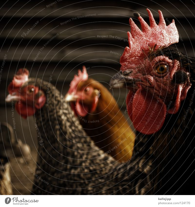 Each one lays an egg quickly, and then death comes. Rooster Barn fowl Feather Bird Animal Punk Independence May 1 Farm Agriculture Laying hen Farm animal