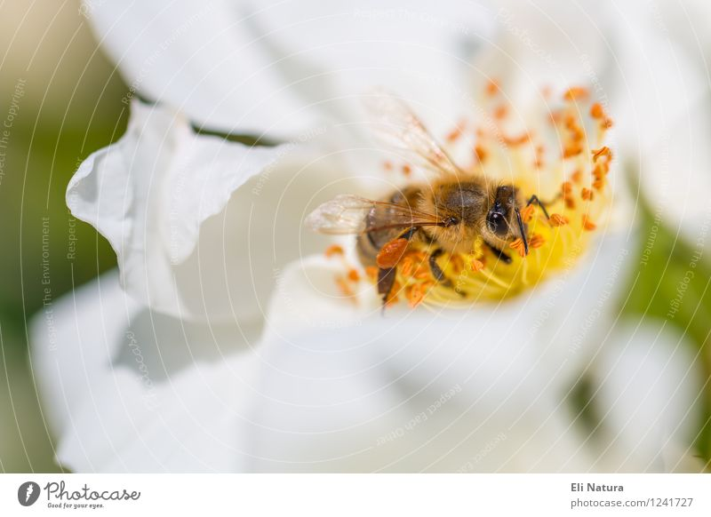 flower bee Nature Plant Spring Summer Beautiful weather Flower Blossom Garden Park Meadow Animal Wild animal Bee Wing Insect 1 Flying To feed Crawl Fragrance