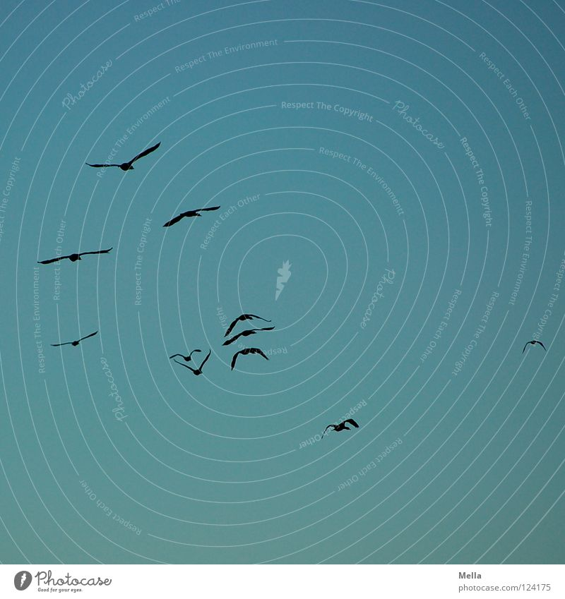 Sky Blue Far-off places Lanes & trails Bird Tall Aviation Wing Longing Doomed Wanderlust Formation Flock Cormorant