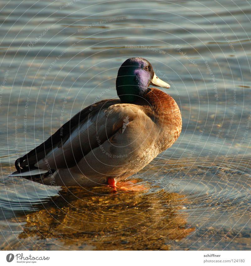Water Lake Bird Glittering Feather Sunbathing Pond Duck Beak Freiburg im Breisgau Boast Domestic duck Macho Drake Mallard Sea park