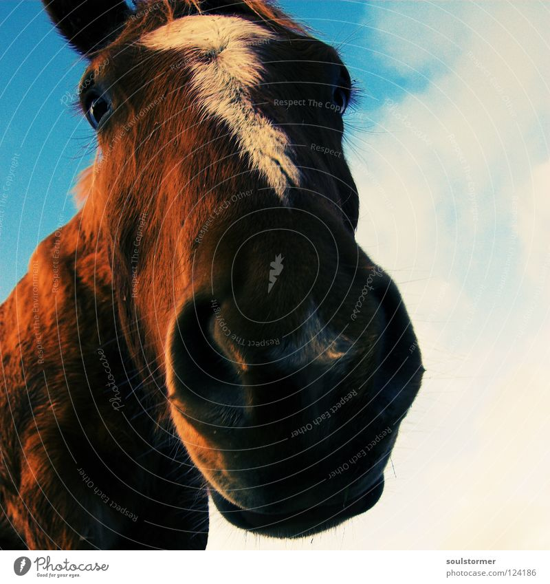 Sky White Blue Animal Freedom Gray Brown Nose Horse Ear Mammal Cowboy Distorted Mane Horse's gait Yellowness