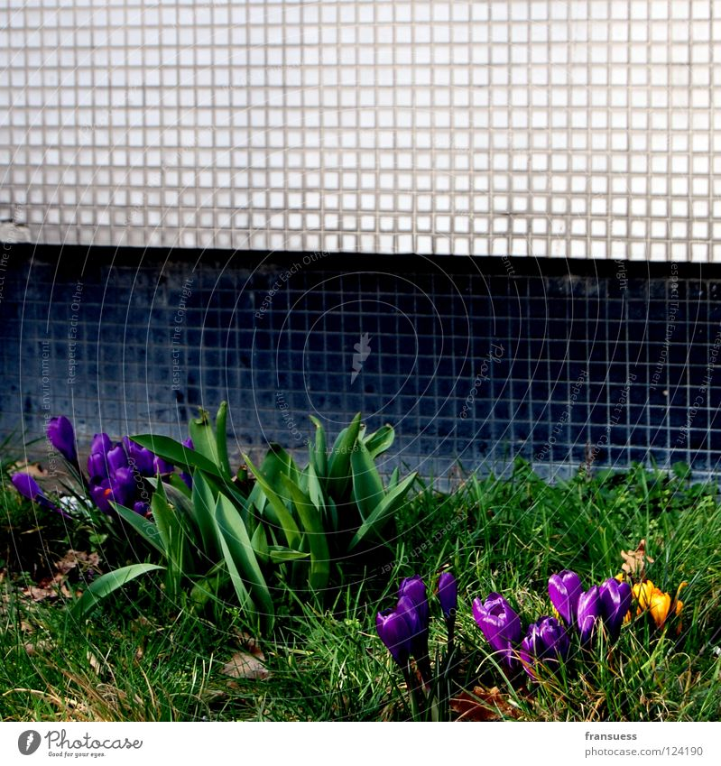 urban spring Flower Crocus Violet Yellow Spring flowering plant Stone Wall (barrier) Black White Meadow Grass Green Underground Mosaic Blossoming