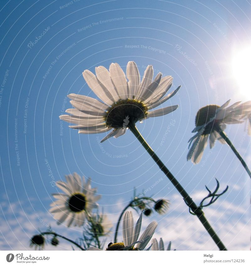 Sky Blue White Green Sun Summer Flower Clouds Yellow Meadow Blossom Multiple Growth Beautiful weather Tea Blossoming
