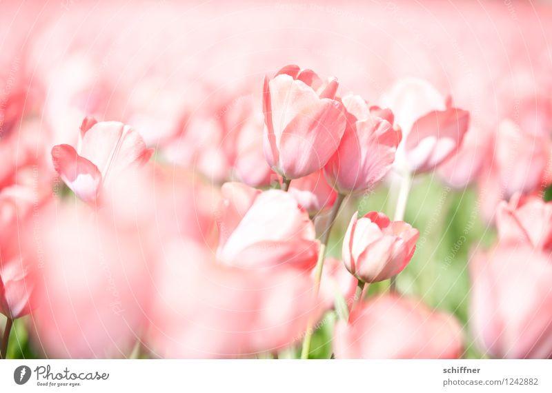 Childhood memory | Tulip carpet Plant Flower Blossom Pink Tulip field Tulip blossom Netherlands Bleached Pallid Exterior shot Deserted High-key