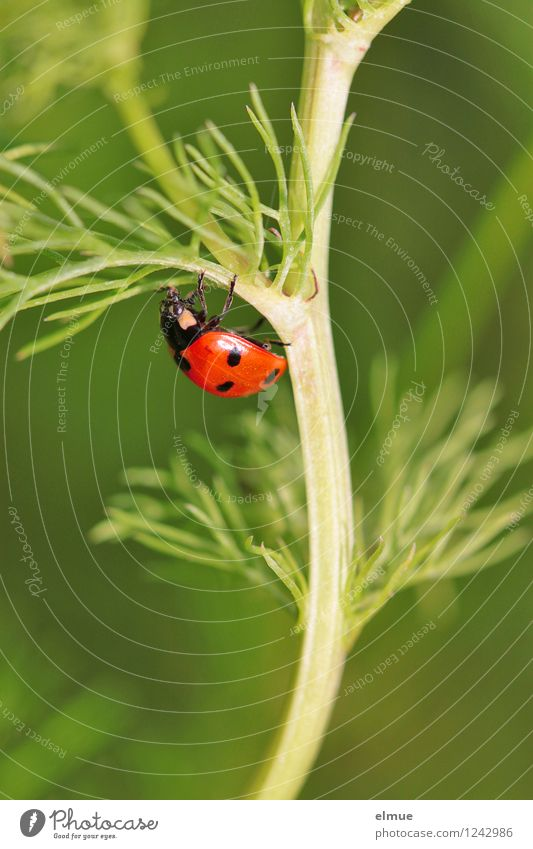 green line Nature Plant Summer Camomile blossom Meadow Wild animal Beetle Ladybird Seven-spot ladybird 1 Animal Good luck charm Happy Movement To hold on Crawl
