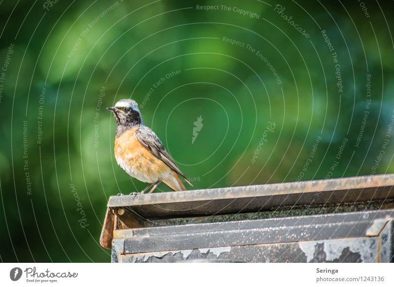 In search of a female ( redstart ) Nature Garden Park Animal Bird Animal face Wing 1 Flying Colour photo Exterior shot Day Light Reflection Sunlight