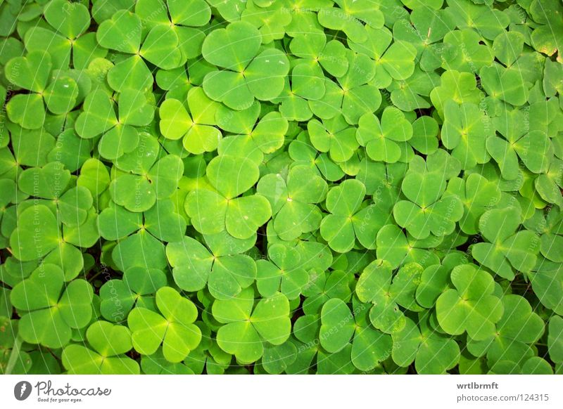 Sweet clover. Four-clover? Happy Nature Meadow Esthetic Success Good Bright Small Many Green Clover Narrow Multiple Good luck charm Sorrel Four-leafed clover