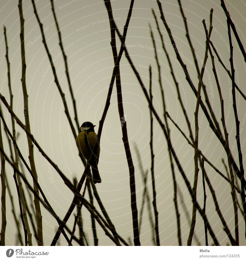 Winter Loneliness Cold Garden Gray Park Bird Wait Sit Empty Bushes Observe Branch Twig Dreary Branchage