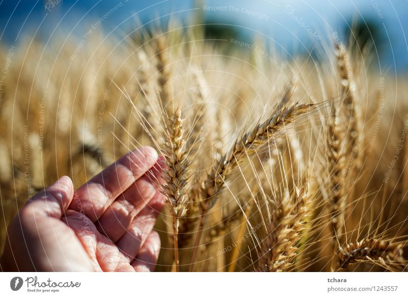 Harvest Beautiful Summer Sun Man Adults Hand Nature Landscape Plant Growth Yellow Gold Wheat field agriculture grain food straw Rural seed Scene Crops cultivate