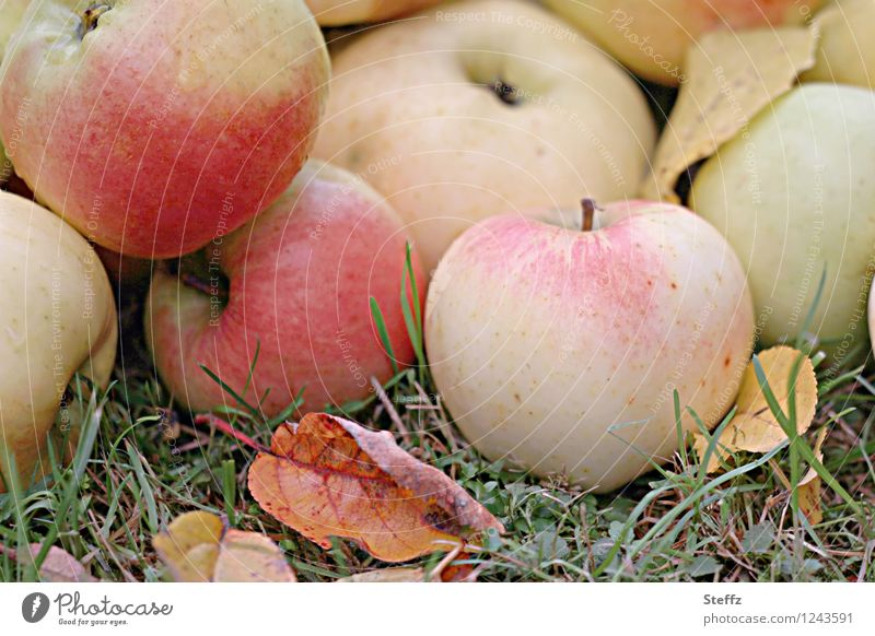 the best of the orchard apples Apple Apple harvest ripe apples Windfall harvest season Supply fruit Winter stock October Fruit garden fruit harvest untreated
