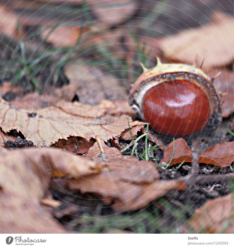 fallen chestnut in autumn leaves Chestnut End of the season chestnut peel melancholy melancholically Domestic Chestnut season autumn impression October
