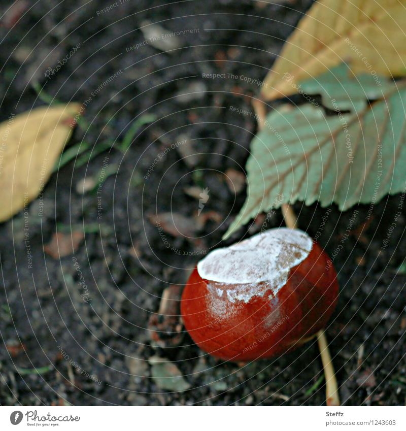 End of season with chestnut Chestnut End of the season transient Domestic chestnuts Autumnal Early fall October Horse chestnut Chestnut season autumn mood