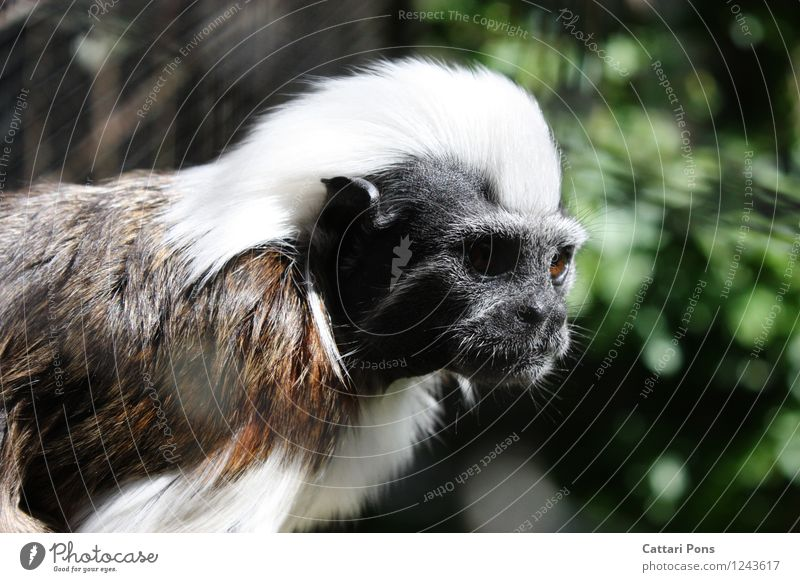 monkey Animal Wild animal Animal face Pelt Zoo Monkeys 1 Observe Authentic Exotic Natural Soft Brown Black White Attentive Watchfulness Young monkey Long-haired
