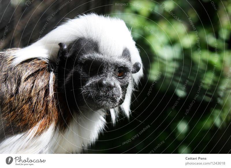 White Animal Black Brown Wild Wild animal Authentic Esthetic Observe Soft Pelt Animal face Monkeys Attentive Young monkey