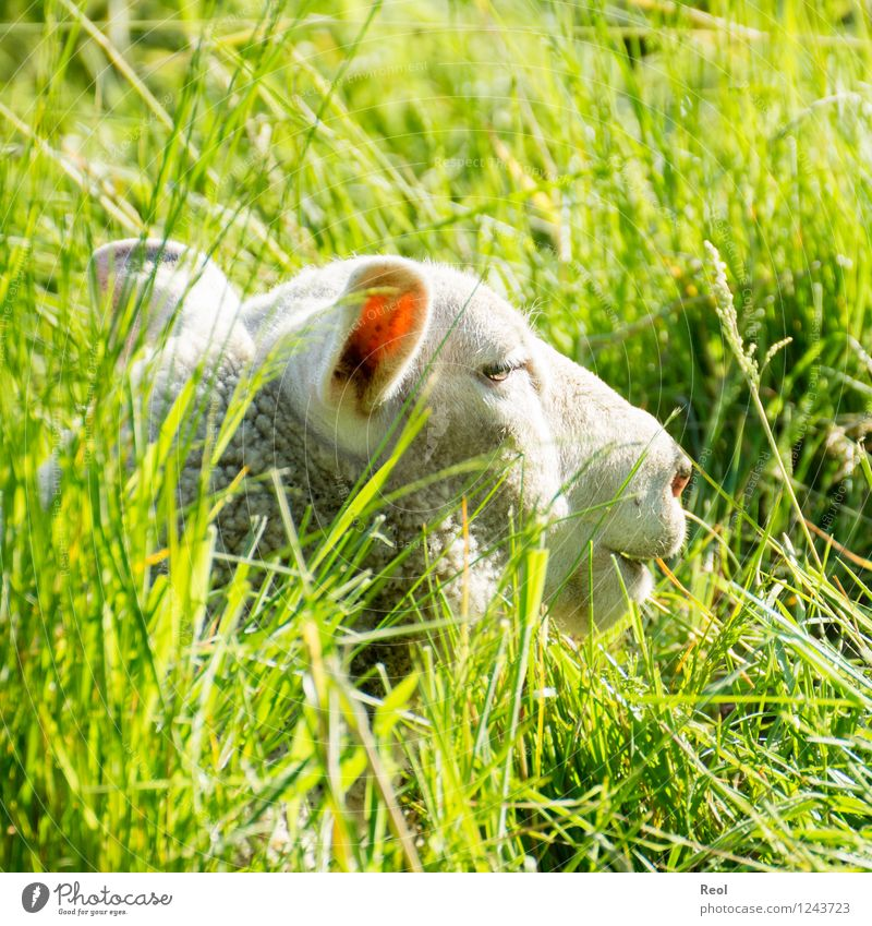 Sunny hiding place Nature Animal Beautiful weather Meadow Pasture Agriculture Livestock breeding Farm animal Sheep 1 Green White Hide Tall Grass Lie Calm