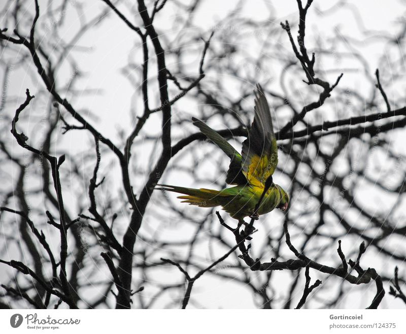 In the cemetery Winter Nature Tree Wild animal Bird Wing Flying Free Gloomy Yellow Green Colour Parrots Beak Departure Branch Twig Feather Collared Conure
