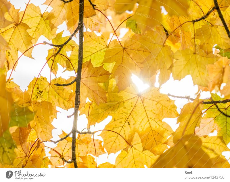 autumn Nature Elements Sunlight Autumn Beautiful weather Plant Leaf Foliage plant Wild plant Autumn leaves Rachis Treetop Leaf canopy Twigs and branches Garden