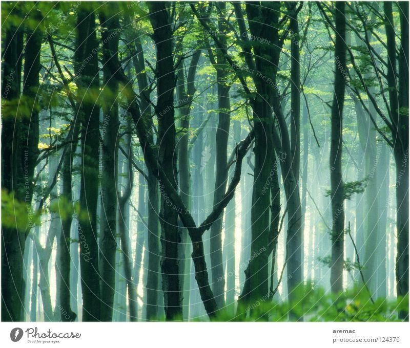 fairytale forest Forest Fog Tree Leaf Beech tree Green Light Landscape Nature